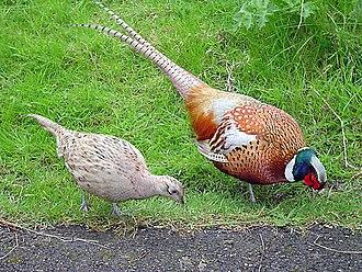 330px-Male_and_female_pheasant.jpg